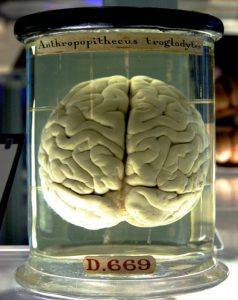 Chimp_Brain_in_a_jar 2